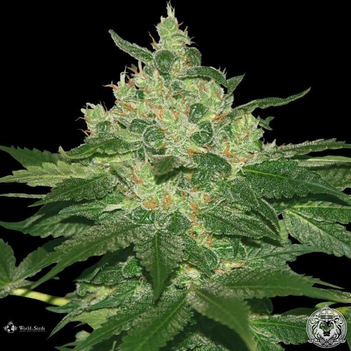 Seedsupreme cannabis seeds