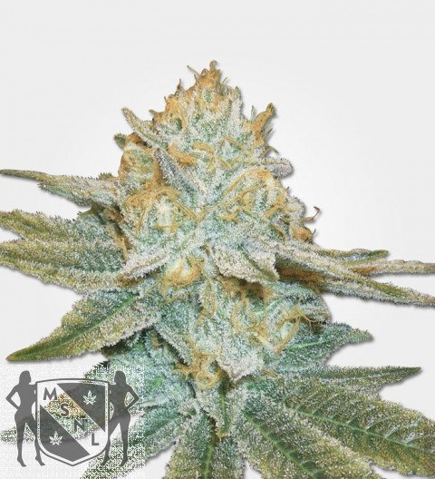 Marijuana Seeds Auto AK47 Feminized