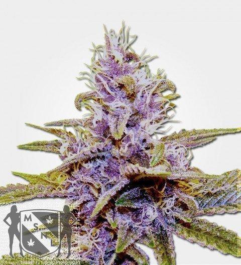 Marijuana Seeds Auto Blue Dream Feminized
