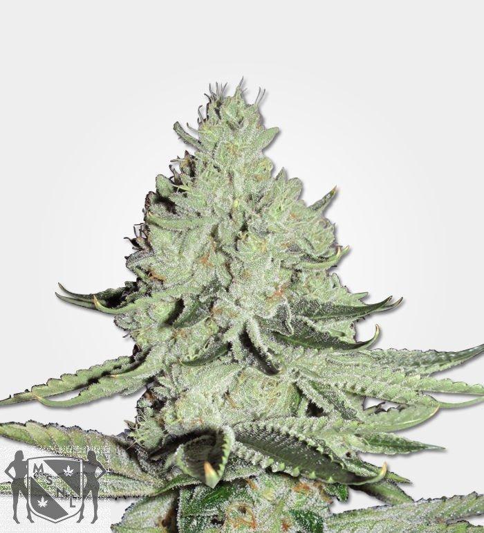 Marijuana Seeds ICE
