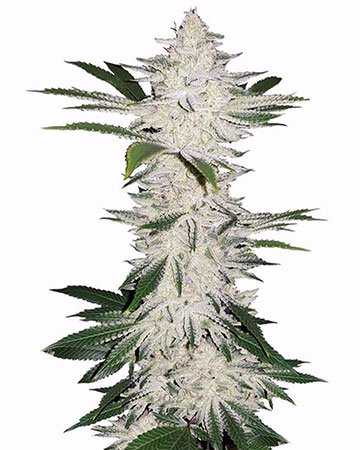growers choice seeds chemdog